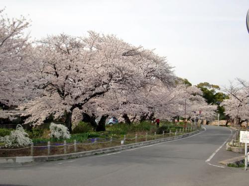 サイクリング桜20130401.jpg