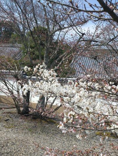 光明寺桜2016.jpg