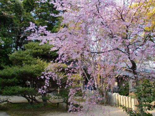 向日神社桜.jpg
