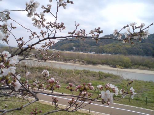 大山崎桜2013.3.jpg