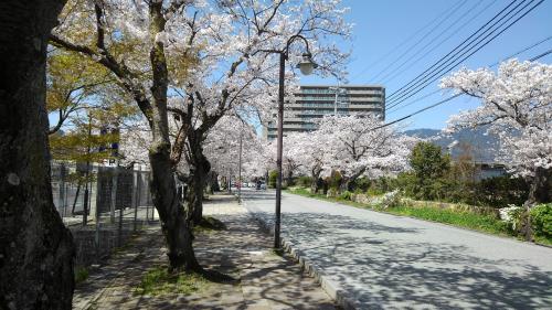 大津京桜.jpg