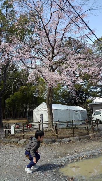 天神桜201803.jpg