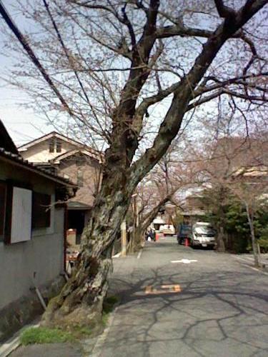 桜老木.jpg