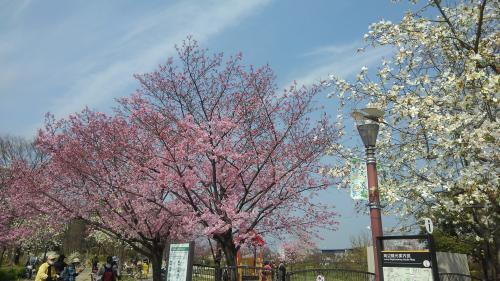 梅小路公園桜1.jpg