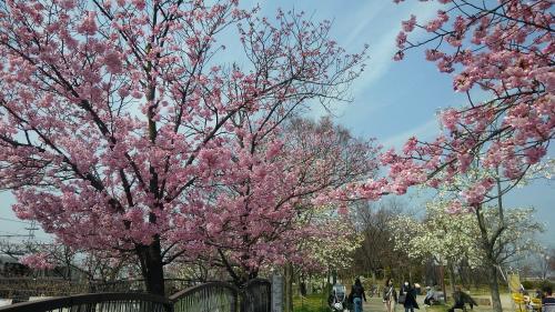 梅小路公園桜2.jpg