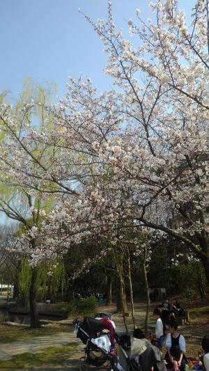 梅小路公園桜4.jpg