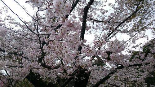 植物園 桜アップ.jpg