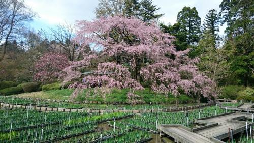 植物園しだれ桜.jpg