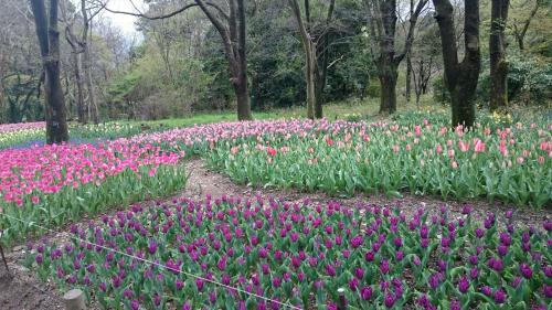 植物園チューリップ畑.jpg