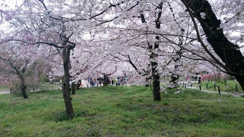 植物園桜並木.jpg