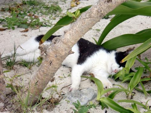 竹富木陰の猫.jpg