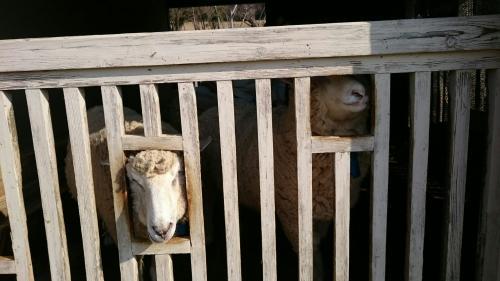 羊小屋.jpg