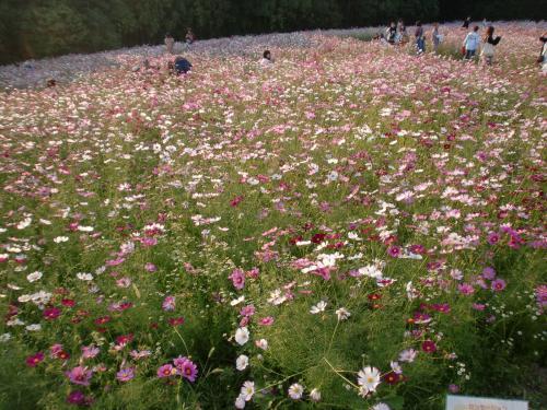 花の丘 花畑.jpg