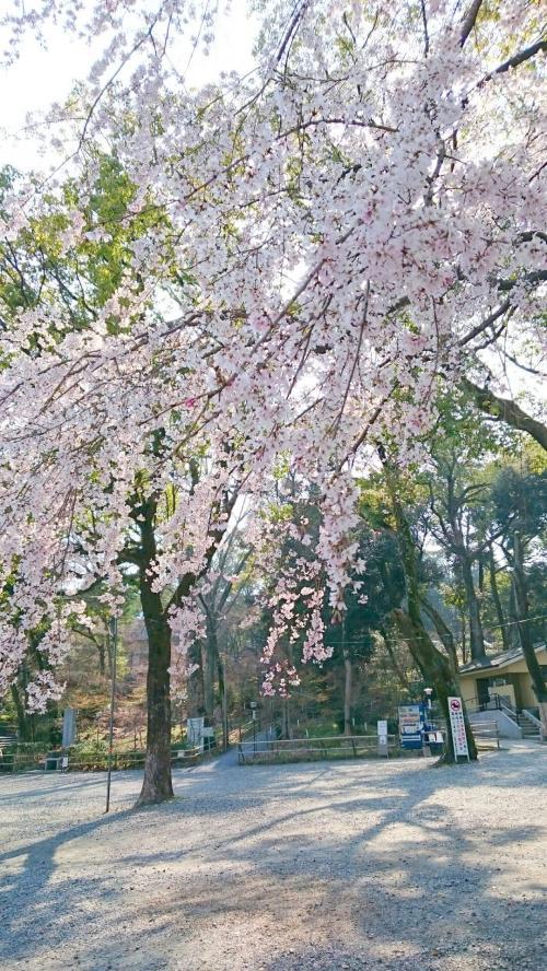 長天さん桜.jpg