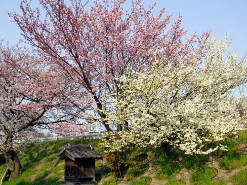 長岡京の桜2.jpg