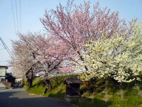長岡京の桜.jpg