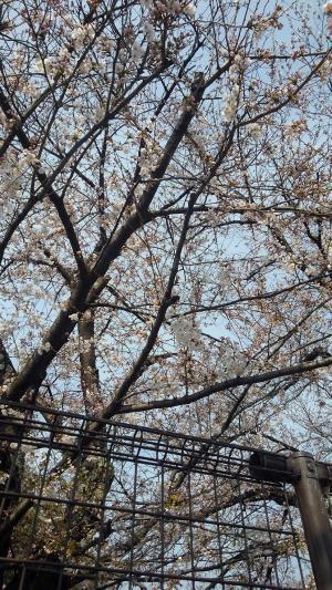 3月26日桜.jpg
