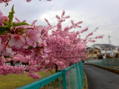 第六向陽小学校桜.jpg